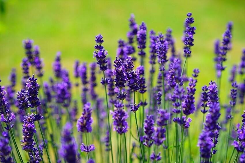 dầu gội Lavender